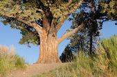 Juniper tree — Stock Photo