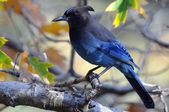 Autumn Steller's Jay (Cyanocitta stelleri) — Stock Photo