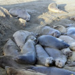 Elephant seal pod — Stock Photo