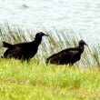 Stock Photo: Everglades Vultures