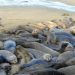 Elephant Seals crowded — Stock Photo