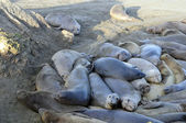 Elephant seal pod — Stock Photo