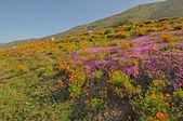 California Hillside wildflowers — Stock Photo