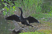 Everglades Anhinga bird — Stock Photo