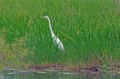 Vita heron strosa — Stockfoto