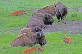 Buffalo Wyoming descansando — Foto de Stock