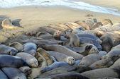 Elephant Seals crowded — Stock Photo