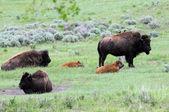 Wyoming buffalo roam — Stock Photo
