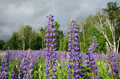 Huge Vermont lupines — Stock Photo