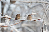 Two sparrows on the tree — Stock Photo
