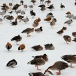 Birds on snow — Stock Photo #4979708