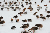 Birds on the snow — Stock Photo