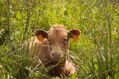 Spanish Cow — Stock Photo