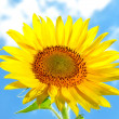 Stock Photo: Large, bright flower sunflower