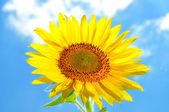 Large, bright flower sunflower — Stock Photo