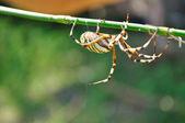 Big spider — Stock Photo