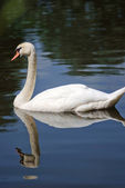 Swan on a lake — Stock Photo