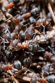 Group of ants — Stock Photo