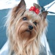 YORKSHIRE TERRIER — Stock Photo #4244138