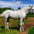 White horse in a shelter — Stock Photo