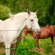 White horse in a shelter - Stock Photo