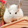 White chinchilla - Stock Photo