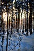Evening forest snowy landscape — Stock Photo