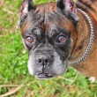 Boxer Dog - Foto Stock