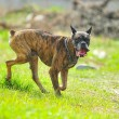 Boxer Dog — Stock Photo #4455433