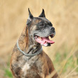 Boxer Dog — Stockfoto