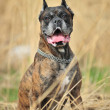 Stock Photo: Boxer Dog