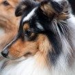 Shetland Sheepdog Close Up — Stock Photo
