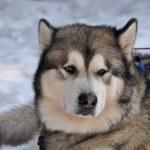 Husky portrait — Stock Photo #4457178