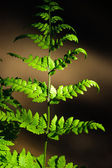 Fern sheet — Stock Photo