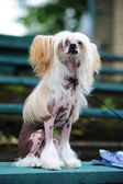 The Chinese Crested Dog — Stock Photo