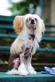 Der Chinesische Schopfhund — Stockfoto