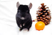 Black chinchilla — Stock Photo