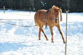 Pferd läuft im winter — Stockfoto