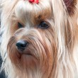 Small dog Yorkshire terrier — Stock Photo