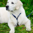 Retriever on the green grass — Stock Photo