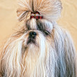 Stock Photo: Cute shiatsu dog