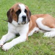 Stock Photo: St bernard