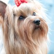YORKSHIRE TERRIER - Stockfoto