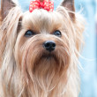 YORKSHIRE TERRIER - Foto Stock