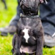 Staffordshire Bull Terrier sitting - Stock Photo