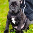 Staffordshire Bull Terrier sitting — Foto Stock