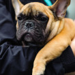 French bulldog - Foto Stock