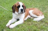 St bernard — Stock Photo
