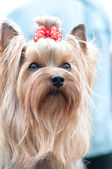 Yorkshire terrier — Foto de Stock