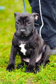 Staffordshire Bull Terrier sitting — Stock Photo